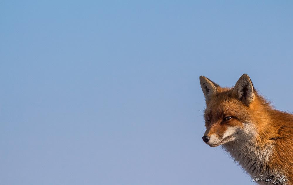 Fokussiert Wilder Fuchs Nationalpark Harz