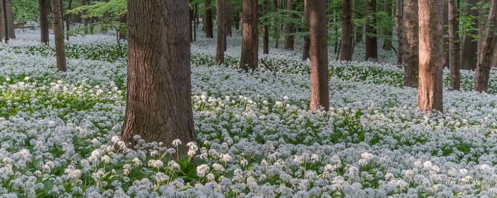 Sonnenlicht Buchenwald Bärlauchblüte NP Harz